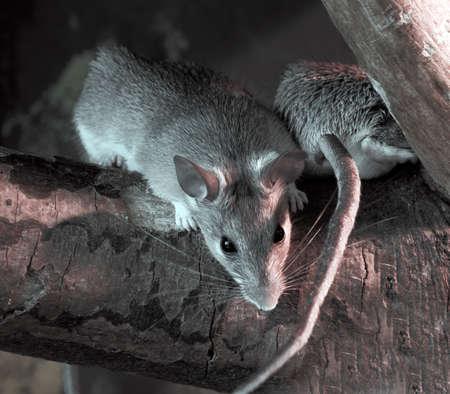Rats photo