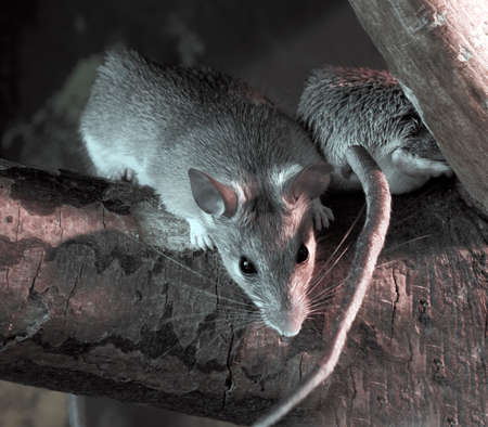 mouse animal: Rats