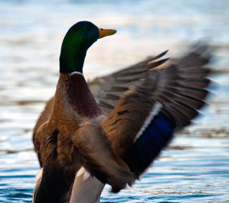 Mallard duck shaking feathers photo