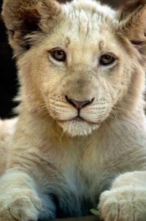 lion cub: Beautiful white lion cub