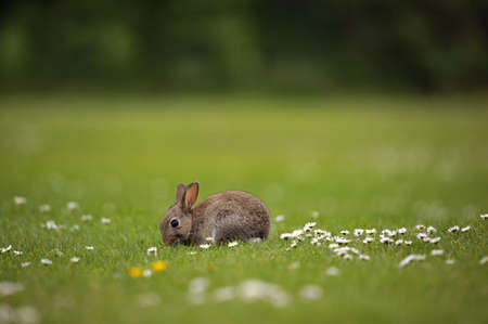 Wild Baby Rabbit Feeding in Field of Daisies