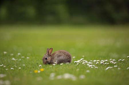 Wildes Baby-Kaninchen, das auf dem Gebiet der Gänseblümchen einzieht Standard-Bild - 9642727