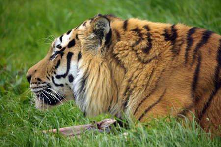 The Siberian tiger (Panthera tigris altaica) photo