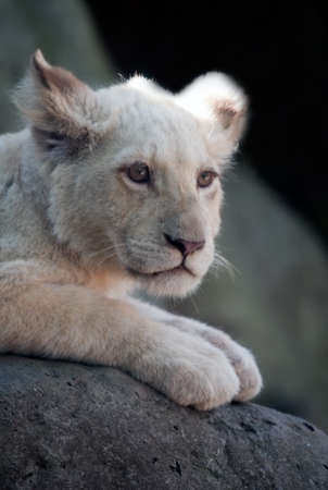 Bored White Lion Cub photo