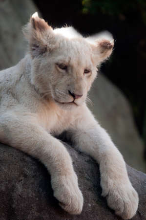 Sleepy White Lion Cub photo