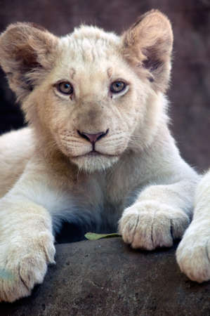 Young White Lion Cub Stock Photo - 9975677