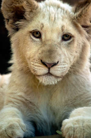 White lion Cub Stock Photo - 9975614