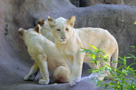 Young Lion Cubs photo