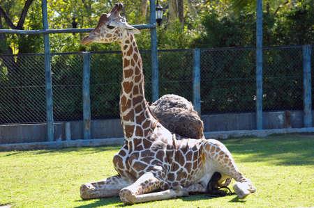 chester: Baby Giraffe Stock Photo