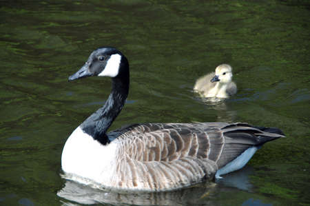 gosling: Canadian Gosling and Mother
