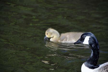 gosling: Gosling and goose