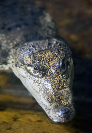 alligator eyes: Small Crocodile waiting for its prey