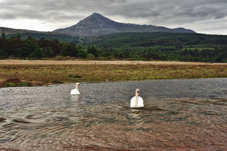 Swans on the Isle of Arran photo