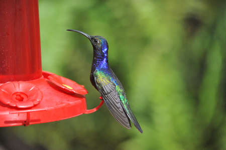 Costa Rican Humming Bird photo