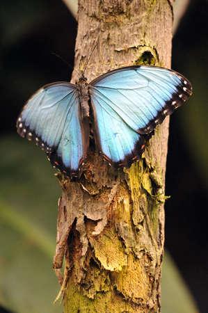 morpho: Blue Costa Rican Morpho Butterfly