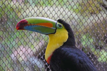 Keel Billed Toucan of the Americas photo