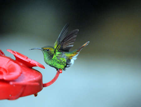 A very tiny fully grown Hummingbird photo