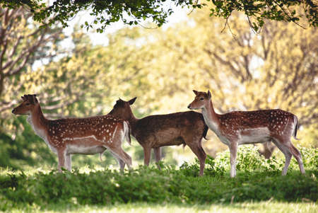 s horn: Group of Deer in the grounds of a famous monastery in North Yorkshire Stock Photo