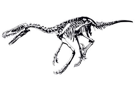 dinosaur skeleton raptor Vector