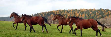 horses panorama Stock Photo