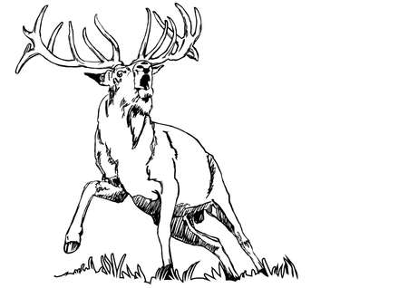 red deer: deer red