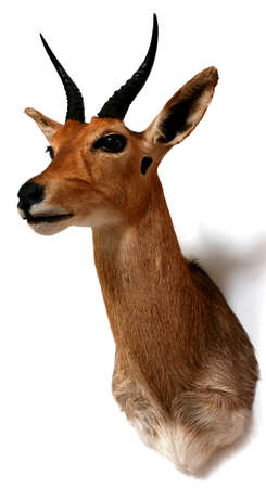 ungulates: Antelope