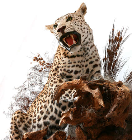 Leopard Stock Photo - 13759580