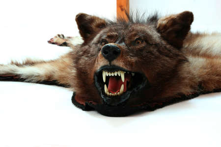 stuffed animals: wolf taxidermy Stock Photo