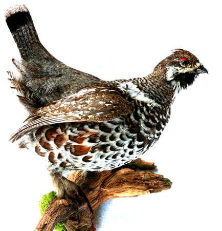 grouse: partridge