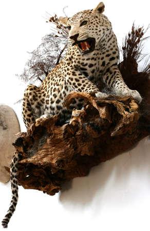 leopard trophy room Reklamní fotografie