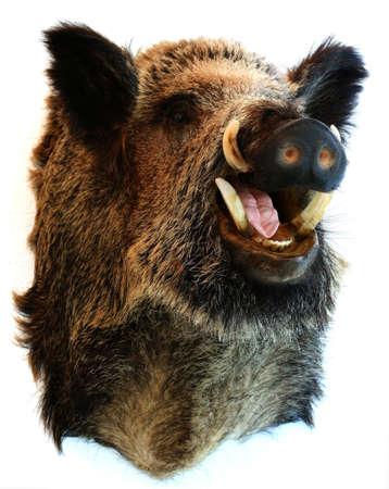 wildschwein: wilde Bord Trophäe