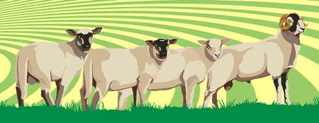 sheep wool: sheep