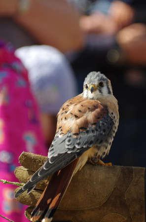 sparrowhawk: Birds kestrel sparrow Stock Photo