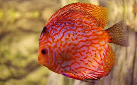 discus: Fish Discus red  Stock Photo