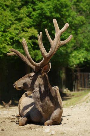 wapiti: Deer Wapiti Siberian 4