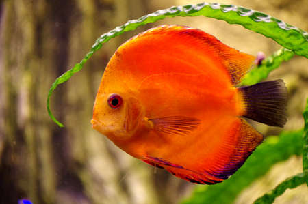 discus: Fish Discus red  Stock Photo