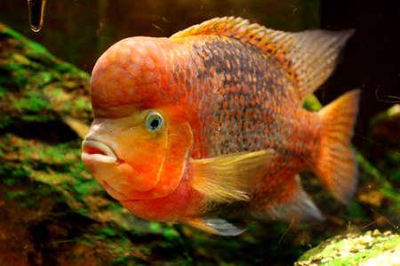 tank fish: Fish Redheaded Cichlid