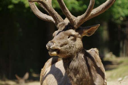 wapiti: Deer Wapiti Siberian portrait Stock Photo
