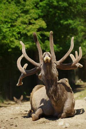 wapiti: Deer Wapiti Siberian