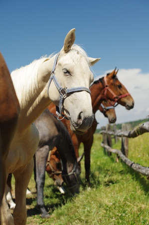 horses portrait  photo