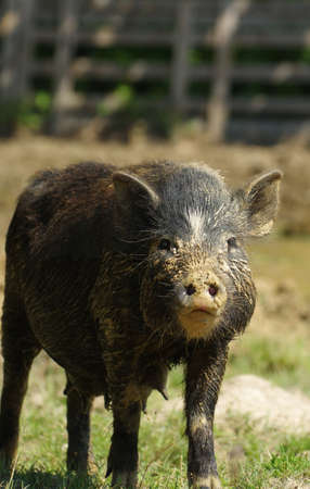 sow: pig sow little black  Stock Photo