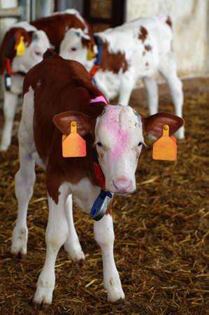 calves farm photo