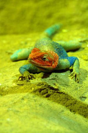 vivarium: agama lizard male 2