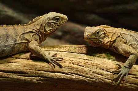 vivarium: iguana black Stock Photo