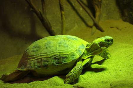 carapace: Tunisian turtle