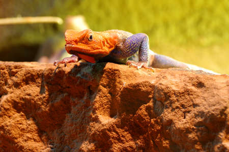 vivarium: agama lizard male 4