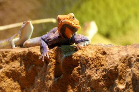 vivarium: agama lizard male 3