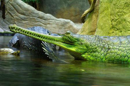 alligator eyes: Indian gavials Stock Photo