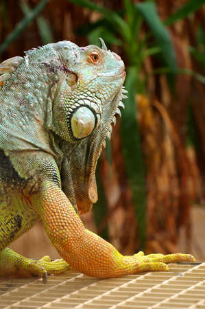 vivarium: iguana green Stock Photo