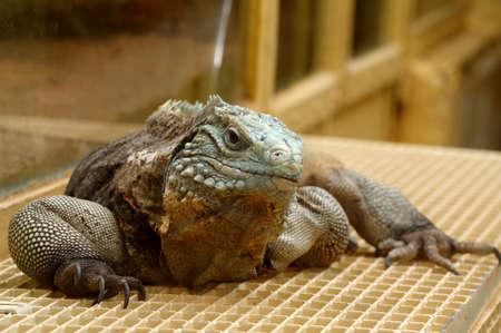 vivarium: iguana terrarium Stock Photo